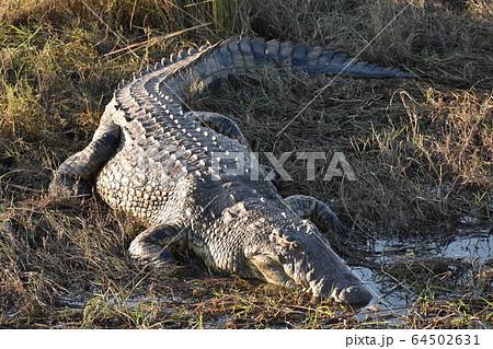 ナイルワニ(チョベ国立公園、ボツワナ) 64502631
