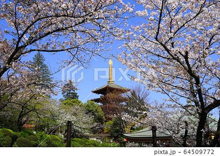 4月 日野81桜と五重塔・高幡不動尊 64509772