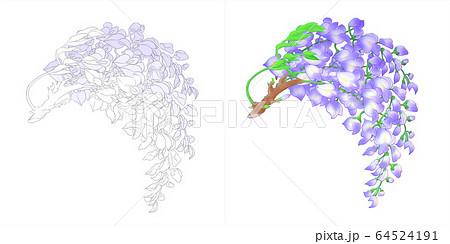 藤の花(白背景) 64524191