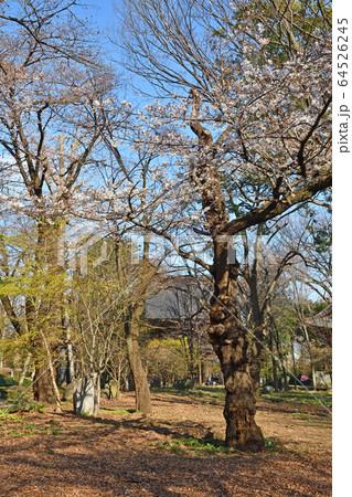 世田谷散歩:九品仏浄真寺 境内の古木桜 64526245