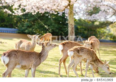 奈良公園の鹿と満開の桜 64541969