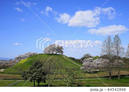 4月 行田73丸墓山古墳の桜と菜の花・さきたま古墳公園 64542998