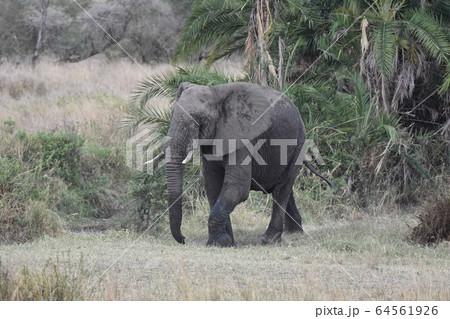 アフリカゾウ(セレンゲティ国立公園、タンザニア) 64561926
