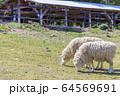 羊 64569691