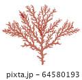海藻 紅藻類 ベクター素材 ユカリ 64580193
