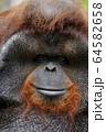 オランウータン 64582658
