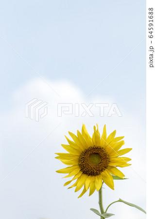 夏の花向日葵・柔らかい光の中のヒマワリ風景 64591688