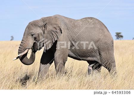 アフリカゾウ(セレンゲティ国立公園、タンザニア) 64593306