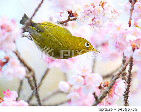 早春の桜とメジロ 64596755