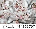 開花したソメイヨシノに積もる雪 64599797