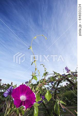 夏の朝顔風景-3・西洋朝顔の咲く夏の朝風景 64603134