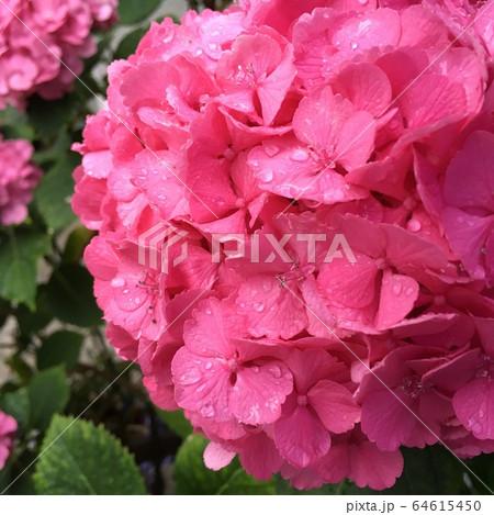 【鮮やか】雨に濡れるピンク色のあじさい 64615450