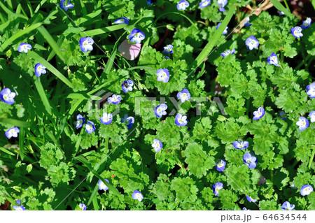 青い可憐な花を咲かせる雑草オオイヌノフグリ 64634544