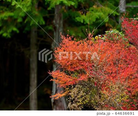 大山の麓で見たきれいに色づいたドウダンツツジの紅葉@鳥取 64636691