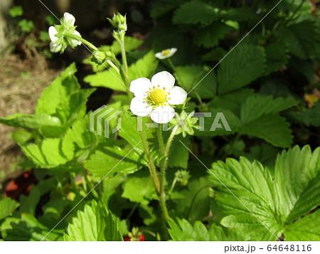 この白い花は赤い実になるイチゴの花 64648116