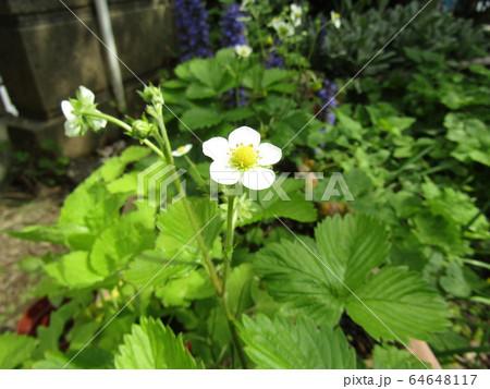 この白い花は赤い実になるイチゴの花 64648117