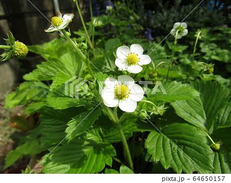 この白い花は赤い実になるイチゴの花 64650157