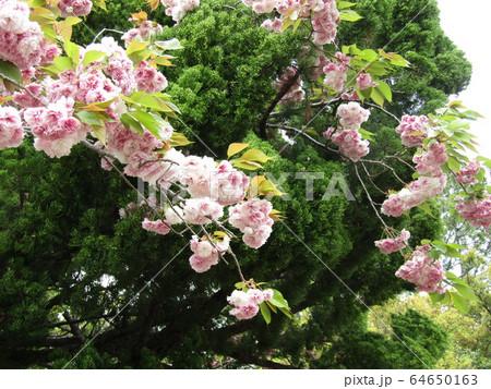 八重の桜は遅咲きのサクラ 64650163