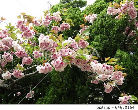 八重の桜は遅咲きのサクラ 64650164