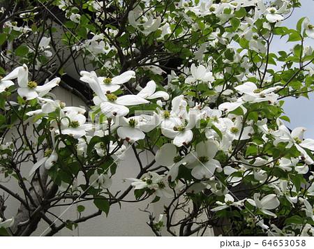 秋には真っ赤な実がなるヤマボウシの白い花 64653058