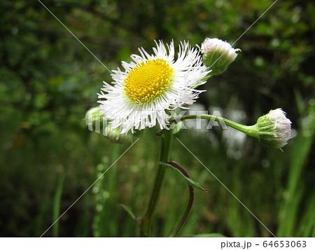 道端に咲くの野の花ハルジオンの白いr花 64653063