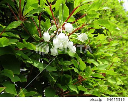 垣根を飾る真っ白なベルドウダンツツジの花 64655516