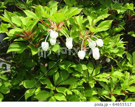 垣根を飾る真っ白なベルドウダンツツジの花 64655517