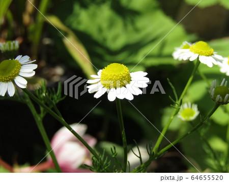 ハーブのカモミールの白い花 64655520
