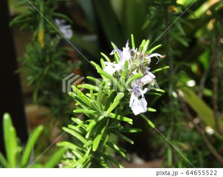 リーズマリーの青い舌状の花 64655522