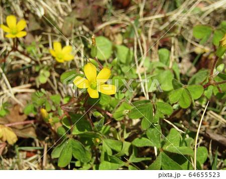紋所が多いカタバミの黄色い花 64655523