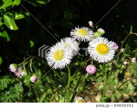 道端に咲くの野の花ハルジオンの白いr花 64656301