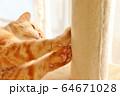 ピンクの可愛い肉球を見せる猫。アメリカンショートヘアのレッドタビー 64671028
