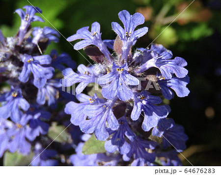 この紫の花はジュウニヒトエの花 64676283