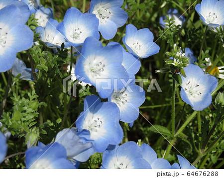 こどもの笑顔のようなネモフィラとワスレナグサの青い花 64676288