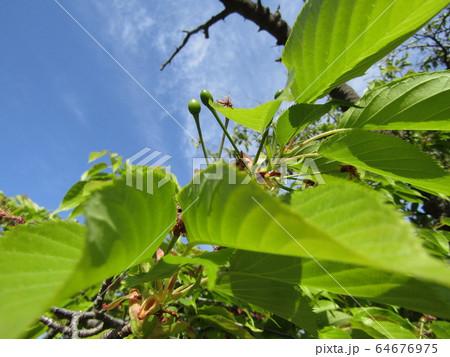 若草色の実を付けたオオシマザクラ 64676975