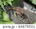 ニホンカナヘビ 64679501