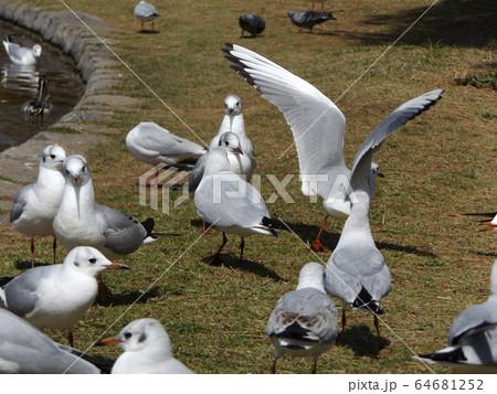 もう直ぐ北へ帰る冬の渡り鳥ユリカモメ 64681252