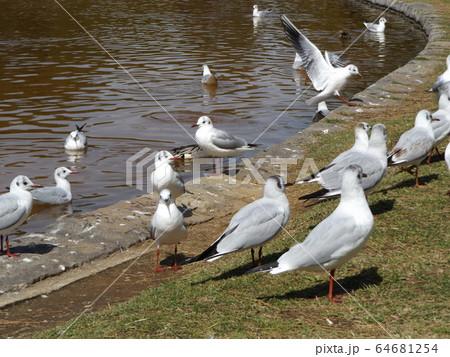 もう直ぐ北へ帰る冬の渡り鳥ユリカモメ 64681254
