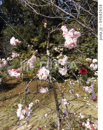 ハナモモの綺麗なピンクの花 64682658
