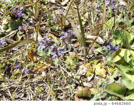 地獄の釜の蓋と呼ばれる紫の花を咲かすキランソウ 64682660