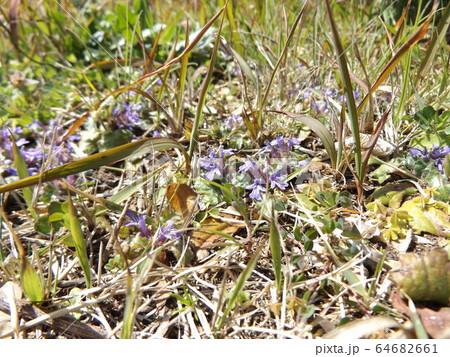 地獄の釜の蓋と呼ばれる紫の花を咲かすキランソウ 64682661