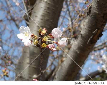 きれいに咲いた白い桜はオオシマザクラ 64683911