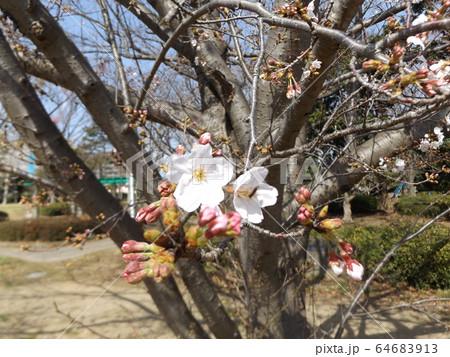 きれいに咲いた白い桜はオオシマザクラ 64683913