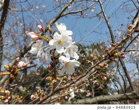 きれいに咲いた白い桜はオオシマザクラ 64683915