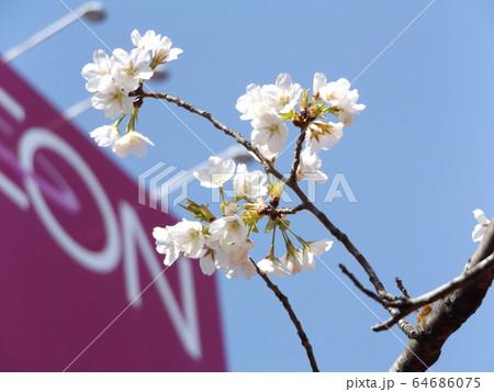 きれいに咲いた白い桜はオオシマザクラ 64686075