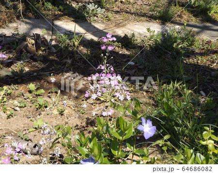 すっと伸びた茎に可憐な桃色の花を咲かすサクラソウ 64686082