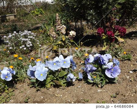 花期の長いビオラは未だ咲いています 64686084