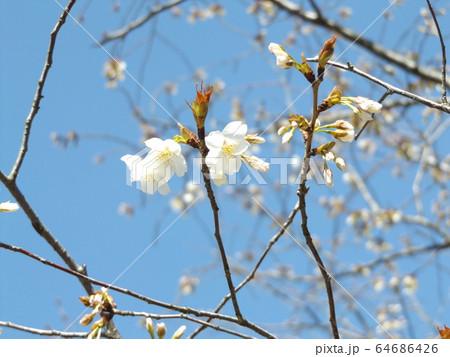 きれいに咲いた白い桜はヤマザクラ 64686426