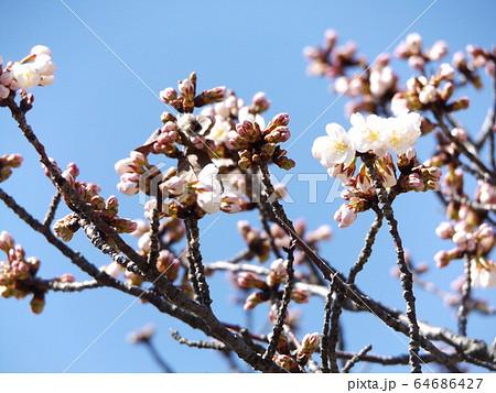 咲き始めた白い桜はオオシマザクラ 64686427