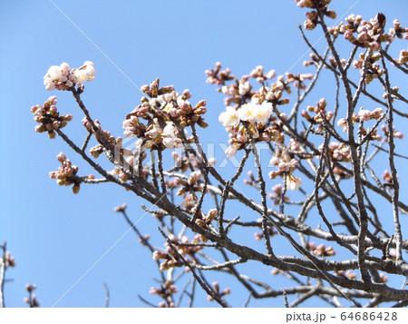 咲き始めた白い桜はオオシマザクラ 64686428